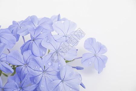 紫色带露珠的鲜花图片