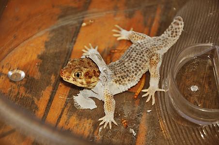 断尾的蛙眼守宫图片