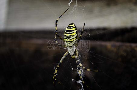 黄黑条纹蜘蛛图片