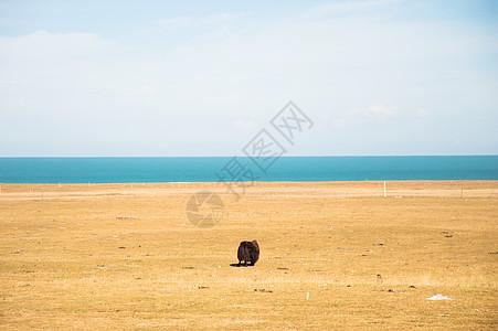 青海湖畔的牦牛图片