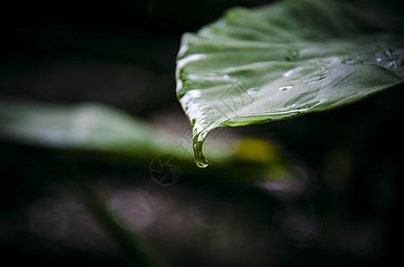 树叶滴水图片