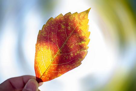 红火的秋叶图片