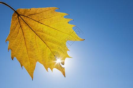 黄金秋叶图片