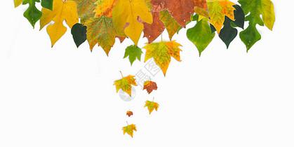 梧桐叶 秋天的叶子平铺素材图片