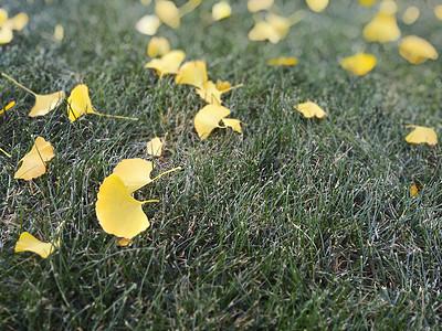一片片银杏叶在草地上图片