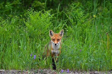 草丛里的红狐图片