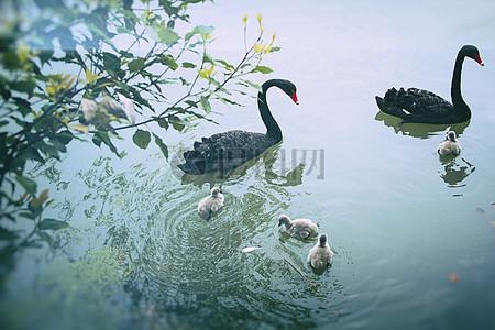 丑小鸭与黑天鹅图片