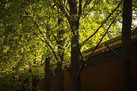 秋.银杏树图片