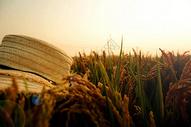 秋意唯美金色稻谷稻田黄昏余晖下秋收成熟野稻图片