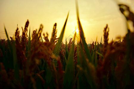 秋意唯美金色稻谷稻田黄昏余晖成熟的野稻图片