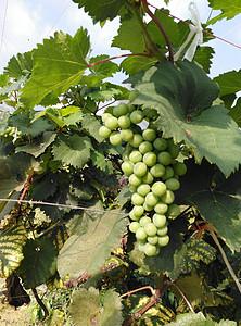 葡萄园的葡萄图片