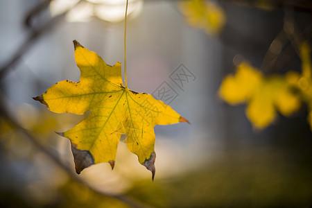秋.枫图片