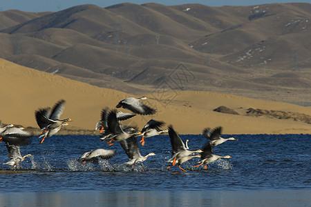 高飞摄影《班头雁、大天鹅》图片