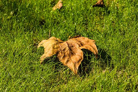 草地上的黄色落叶图片