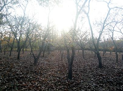栗子树落叶秋天图片