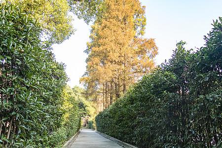 秋天金色梧桐叶图片