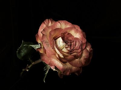 玫瑰特写图片