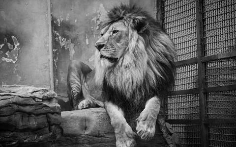 非洲狮图片