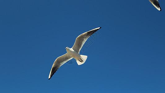 昆明-西伯利亚红嘴鸥图片