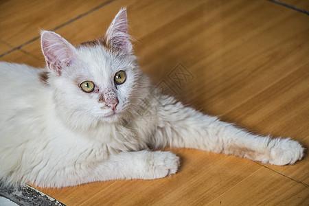 猫咪趴着看着你图片