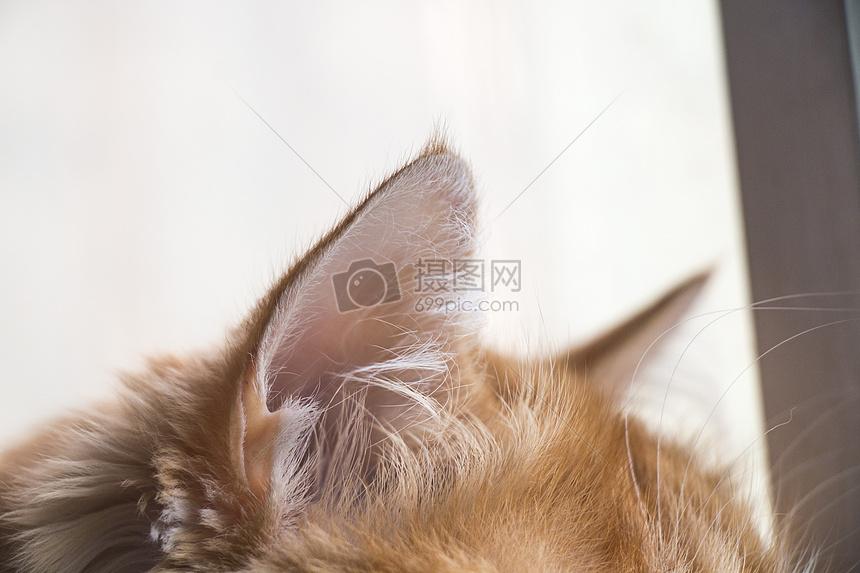 貓咪耳朵特寫
