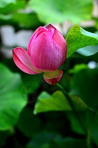 济南大明湖含苞欲放的荷花图片