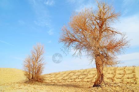 塔克拉玛玛干的胡杨图片