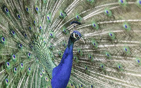西双版纳森林公园孔雀