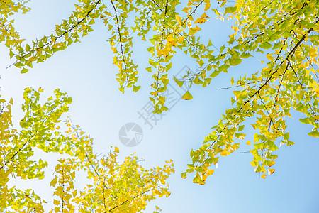 清新自然蓝天银杏树背景图片