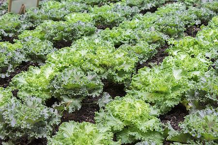 新鲜绿色的甘蓝菜图片