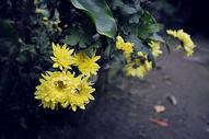 秋日菊花图片