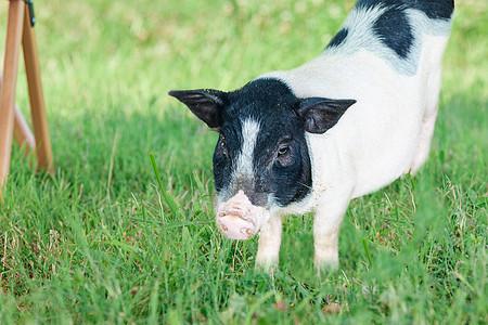 巴马香猪小香猪图片