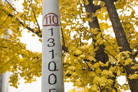秋天银杏树图片
