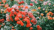 满屏红粉蔷薇图片