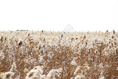 西沙湿地的芦苇图片