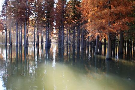 西沙湿地水杉图片