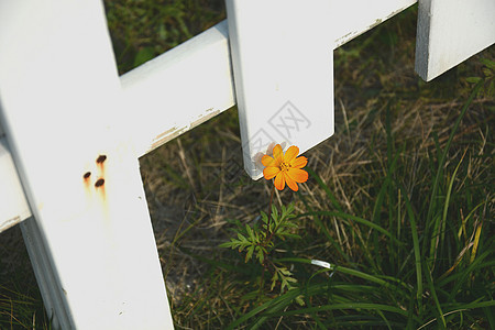 日系小清新野花黄色小花橘色小花小雏菊白色篱笆图片