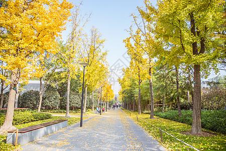 清新文艺公园银杏树图片