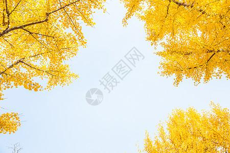 清新文艺天空银杏树图片