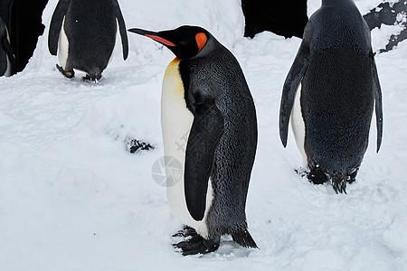 高清南极可爱的企鹅图片