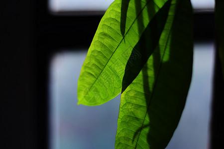 阳光下的绿叶图片