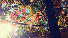 缓缓飘落的枫叶像思念图片