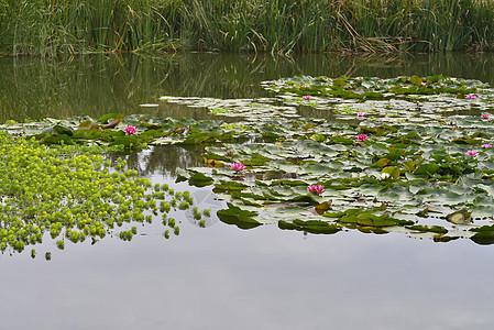 荷花荷叶池塘图片