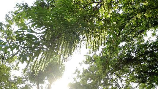 午后的阳光将树叶变得透亮温暖。图片