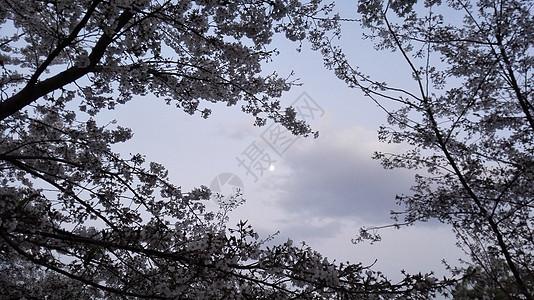月下樱花图片