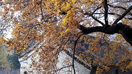 银杏树掩映下的古寺图片