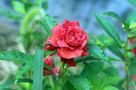 一朵盛开的红色花朵图片