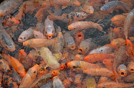 水池里挤满了金鱼图片