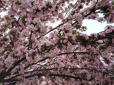 春天里双樱放开放图片
