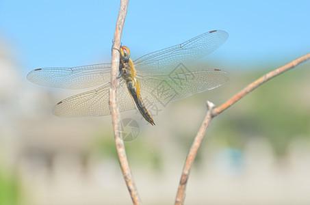 歇息的蜻蜓图片